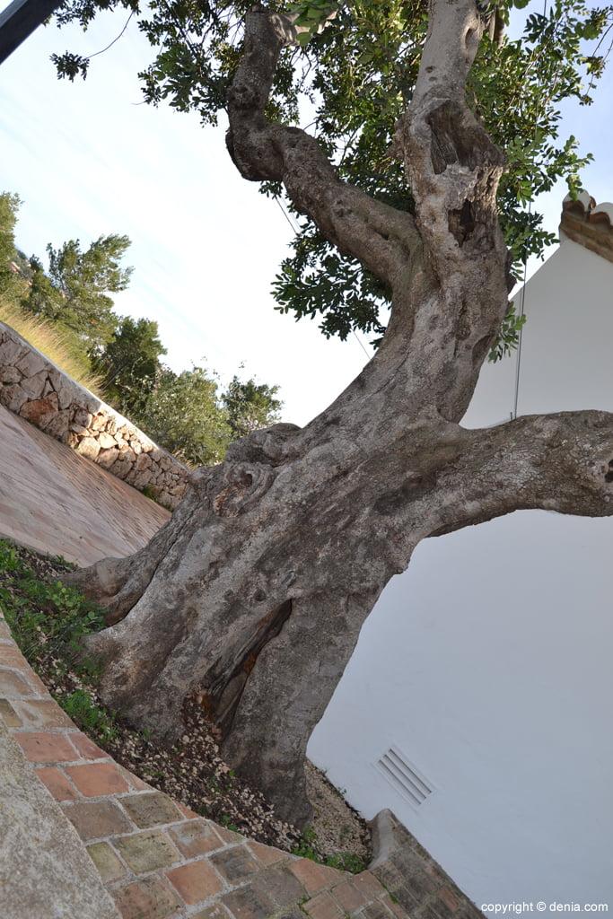 Olivo en la Ermita de San juan