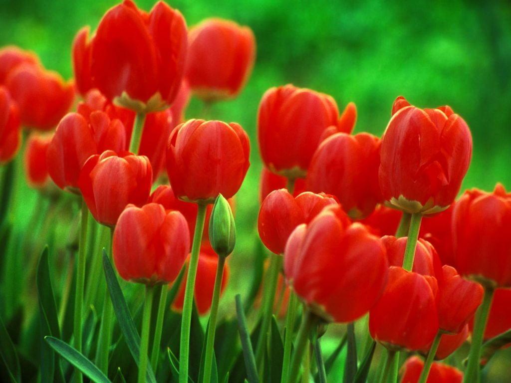 Тюльпановидная лиана фото откровенные публикации
