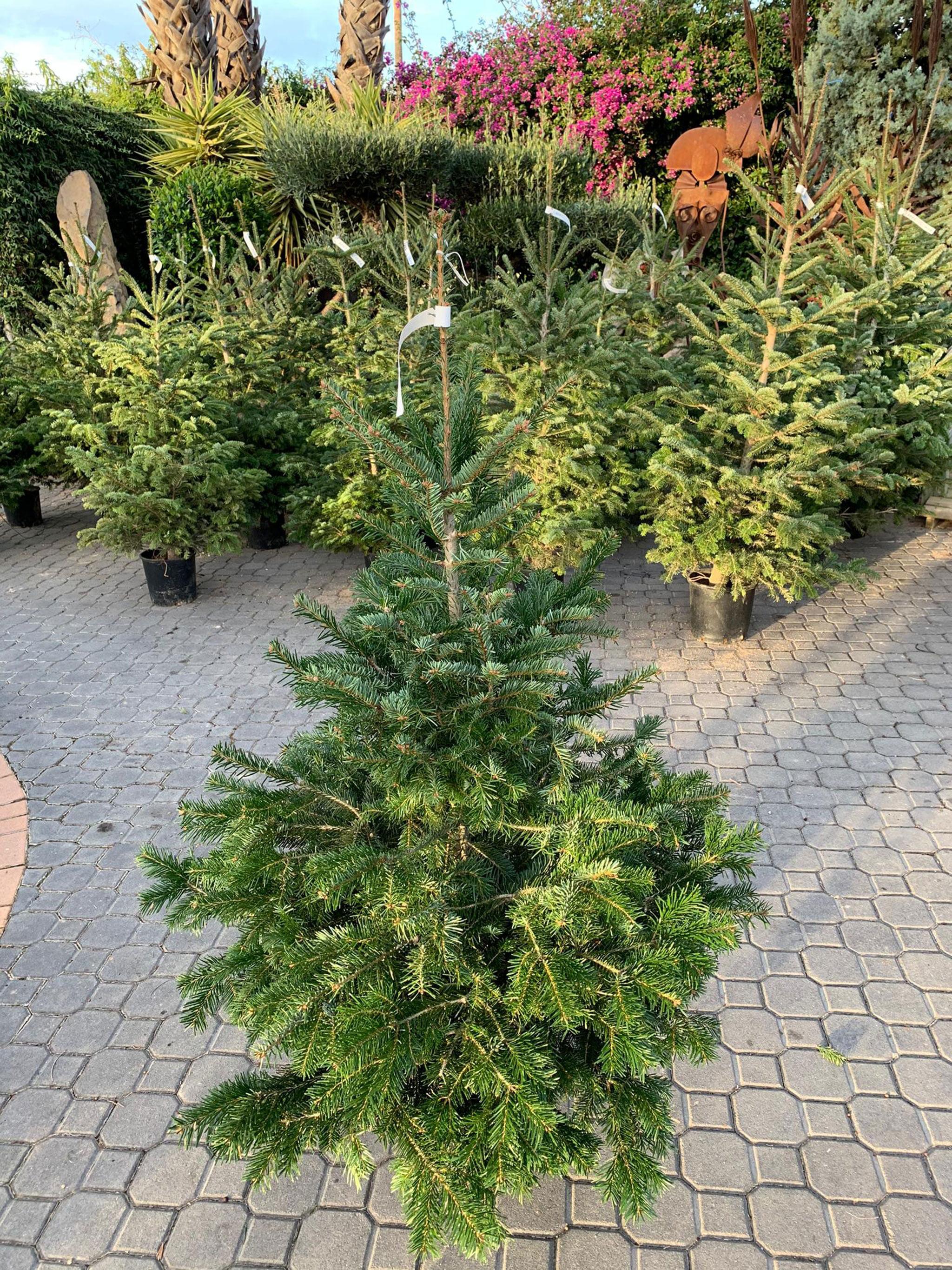 Natura Garden offre un sapin naturel pour ce Noël