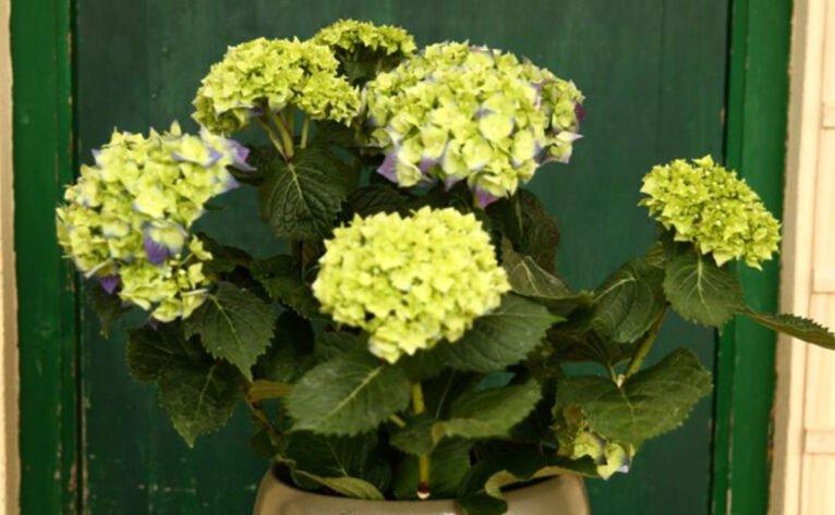 Natura Garden sortea una hortensia