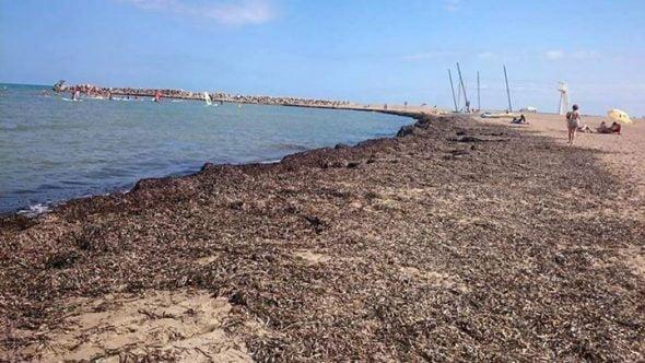 Algas en la playa de Dénia