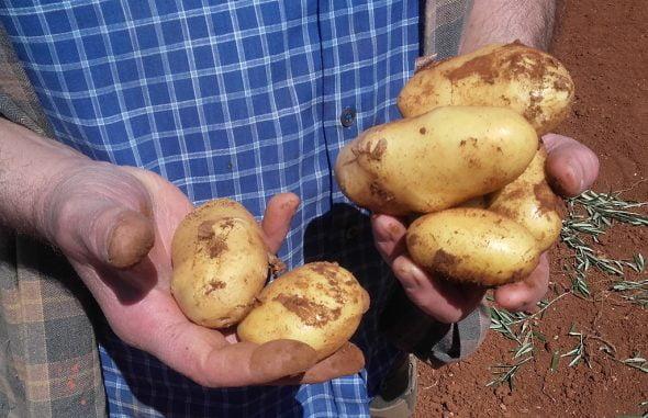 Patatas recogidas Ca Dora