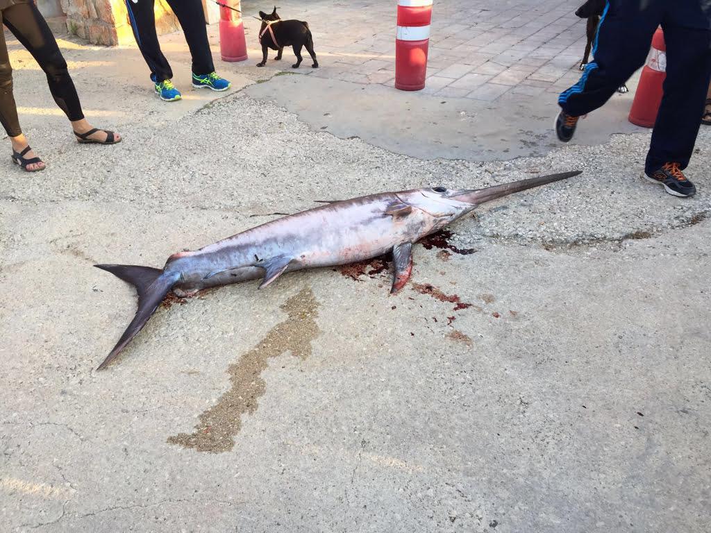 Aparece un pez espada muerto en la playa de la marineta de for Curiosidades del pez espada