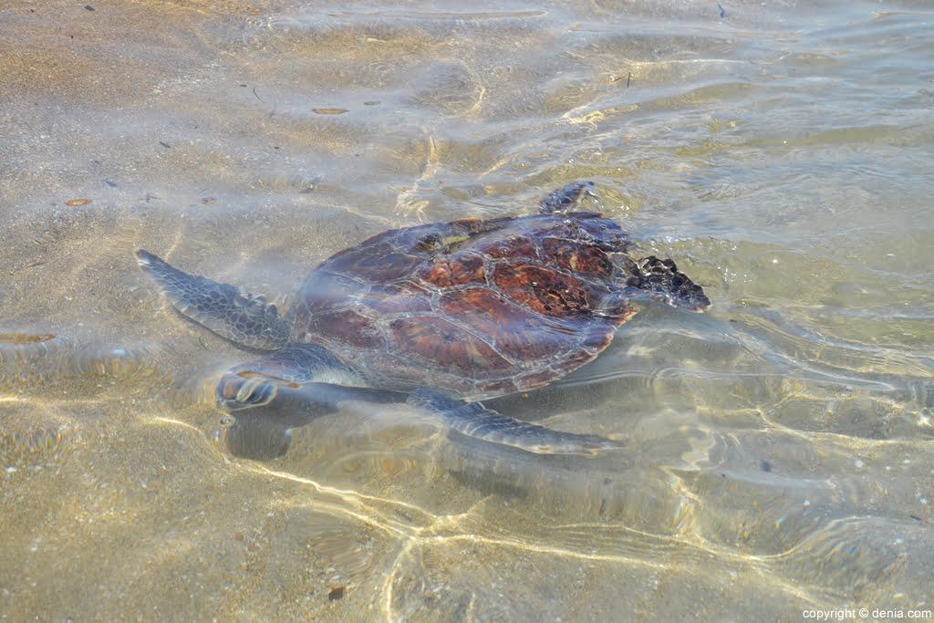 28 Suelta de tortugas en la playa del Raset de Dénia – tortuga boba en el agua