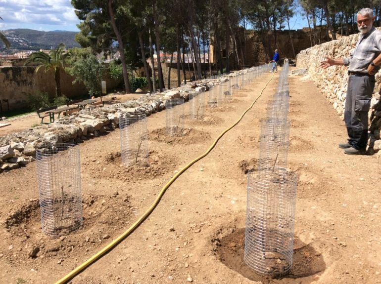 Plantació de vinyes al castell de Dénia