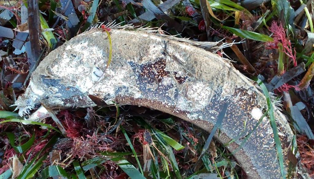Animals morts al litoral denier