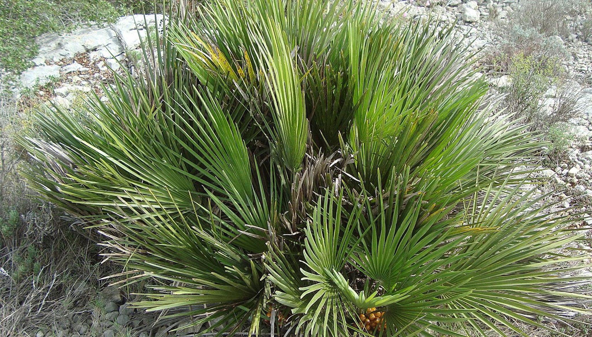 Palmito (Chamaerops humilis) Fuente: Wikimedia Commons