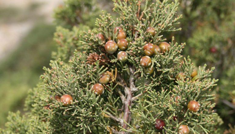 Sabina negral (Juniperus phoenicea), Fuente: Wikipedia