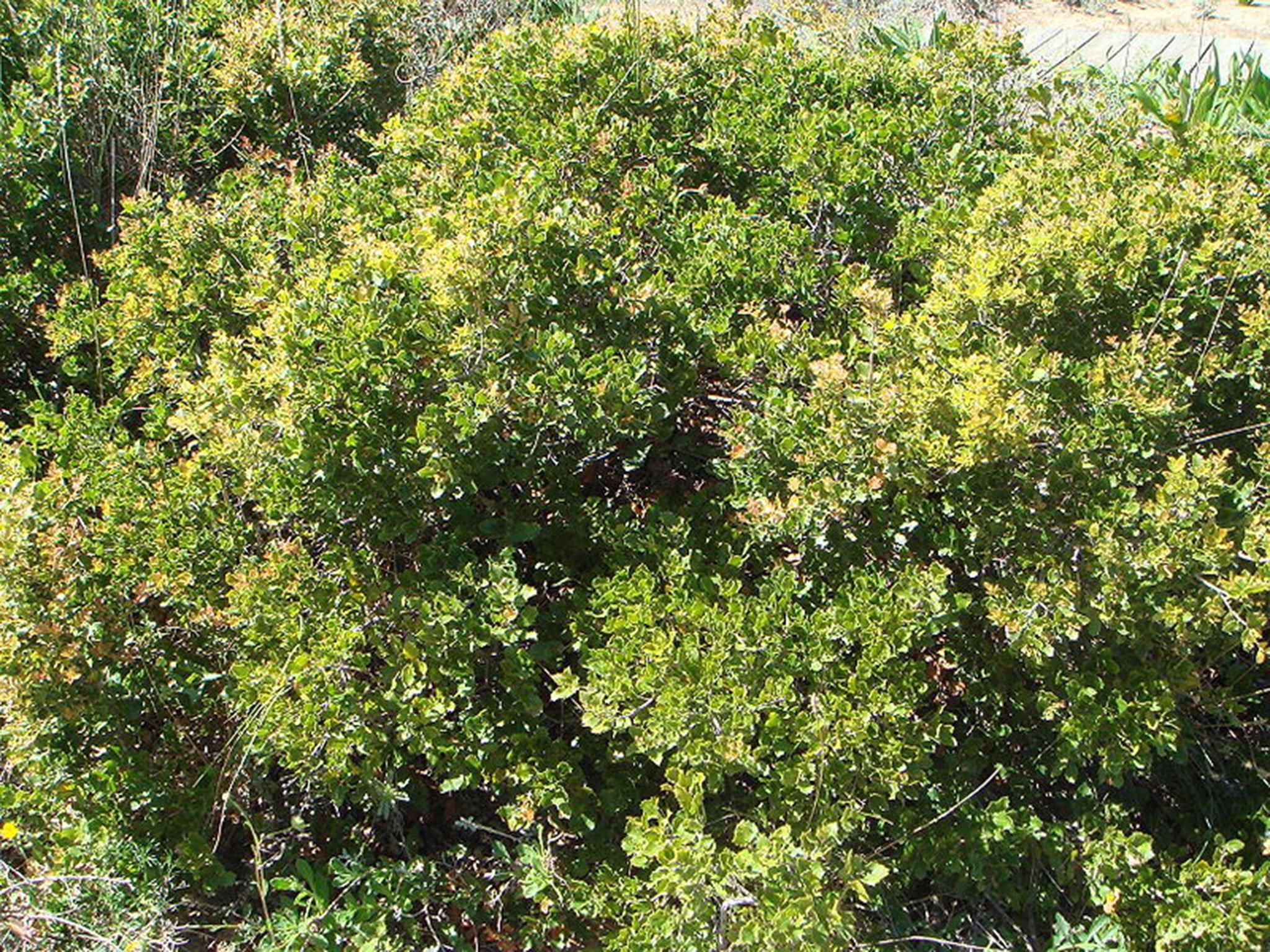 Coscoja o coscoll (en valencià). Fuente: Wikipedia