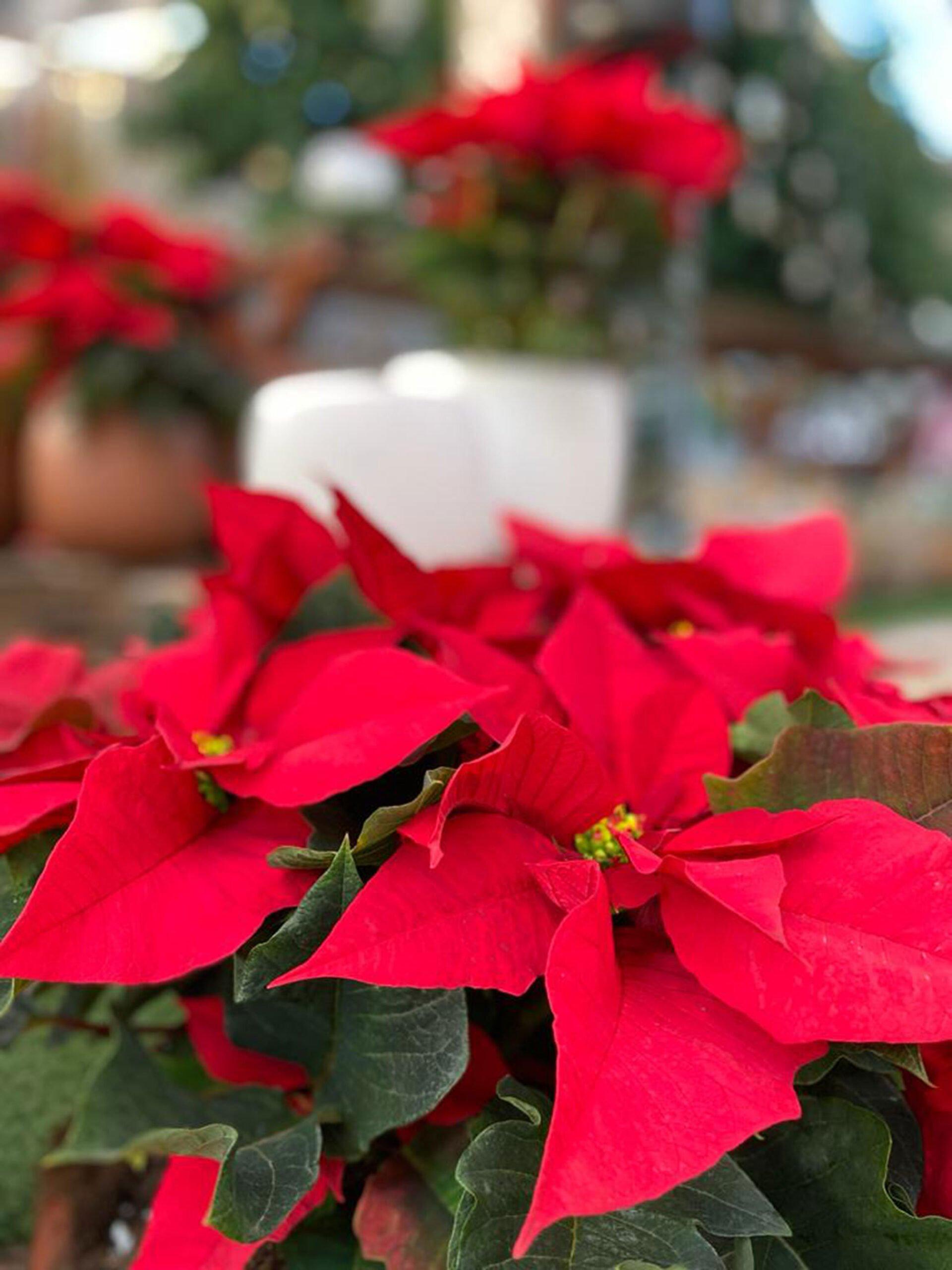 Comprar flores de pascua en Dénia – Natura Garden