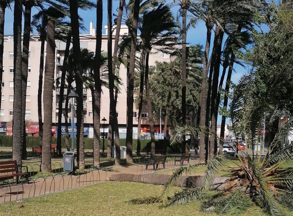 Broken palm tree in Plaza Jaume I