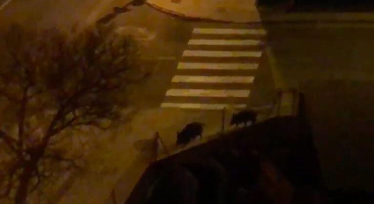 Des sangliers marchent le long de l'avenue Miguel Hernández de Dénia