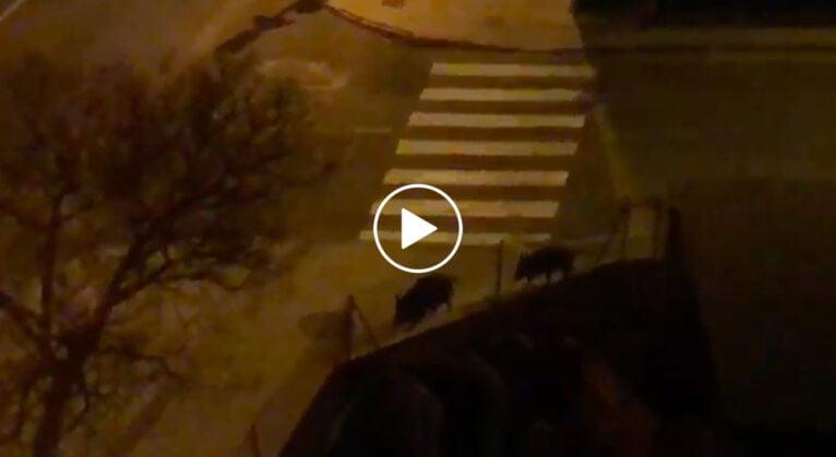 Wild boars walk along Miguel Hernández de Dénia avenue play