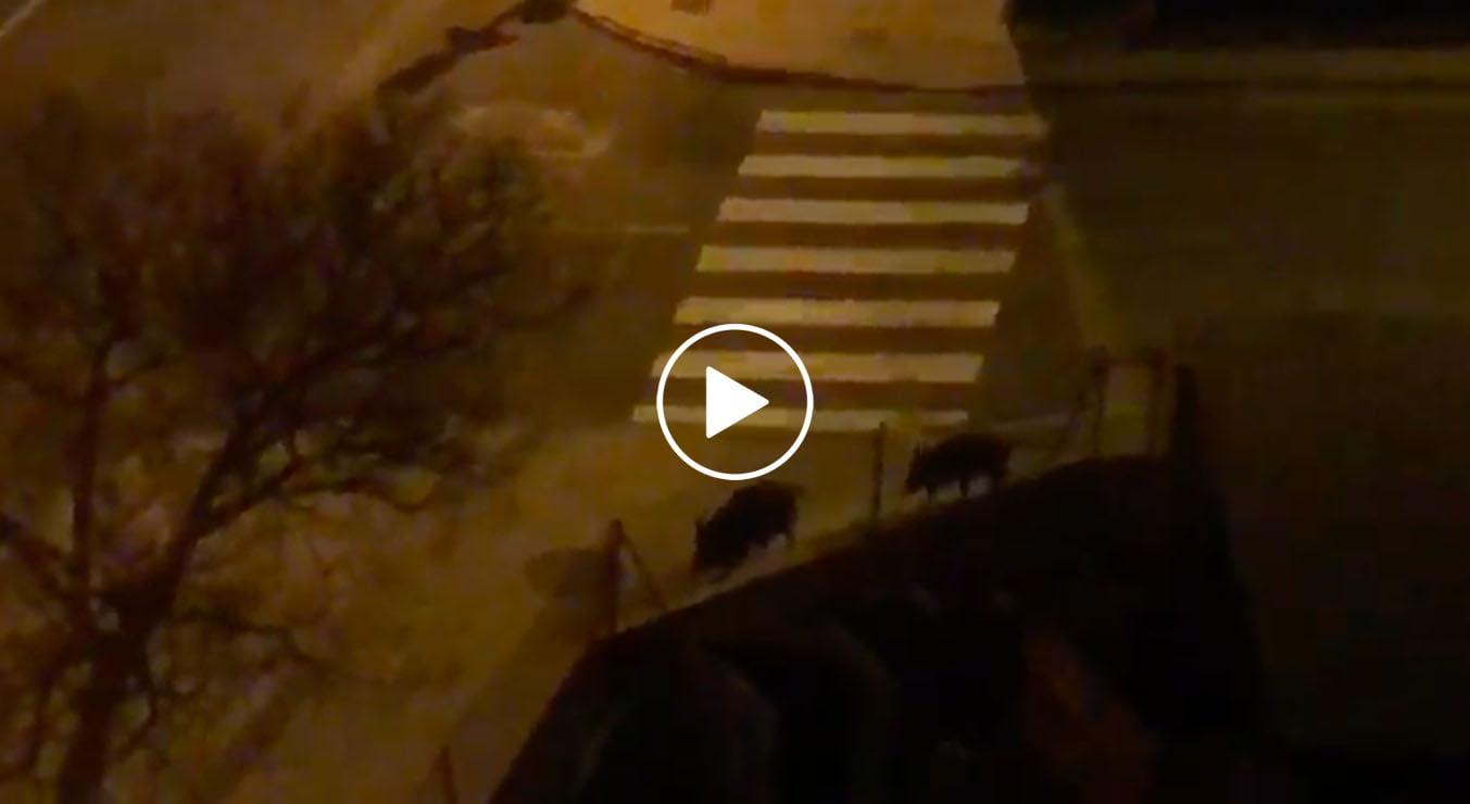 Les sangliers marchent le long de l'avenue Miguel Hernández de Dénia jouer