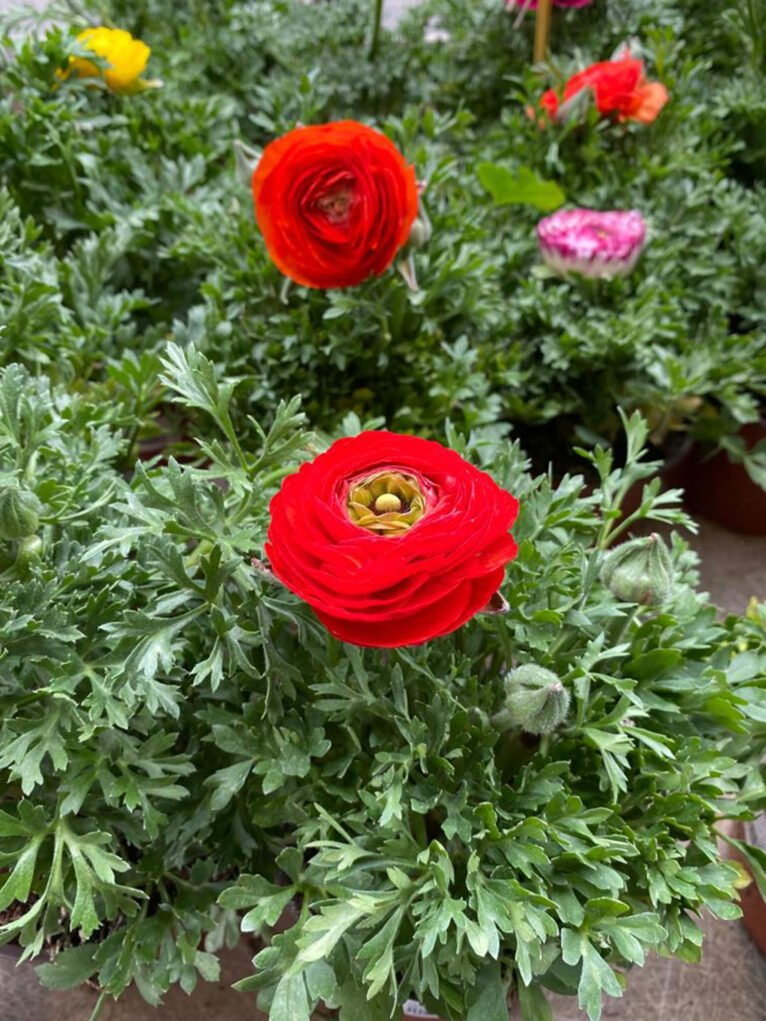 Gift plants for Valentine's Day - Natura Garden