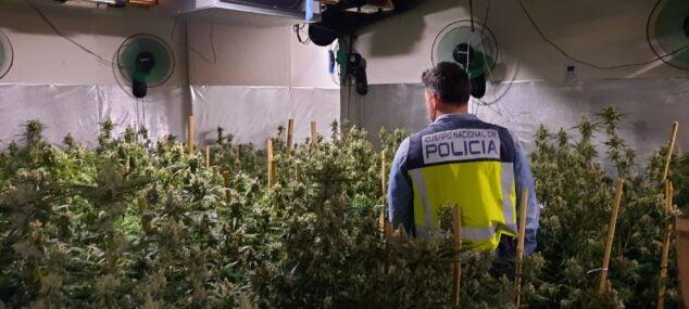Imagen: Plantación indoor de marihuana en Dénia
