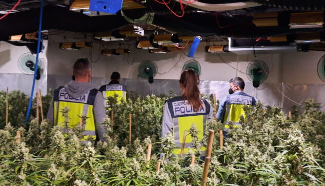 Imagen: Operación en una plantación de marihuana indoor