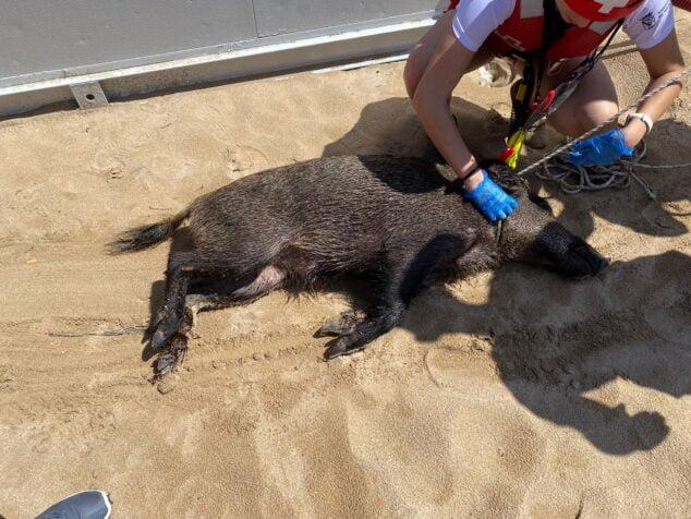 Imagen: Jabalí rescatado en aguas de Dénia