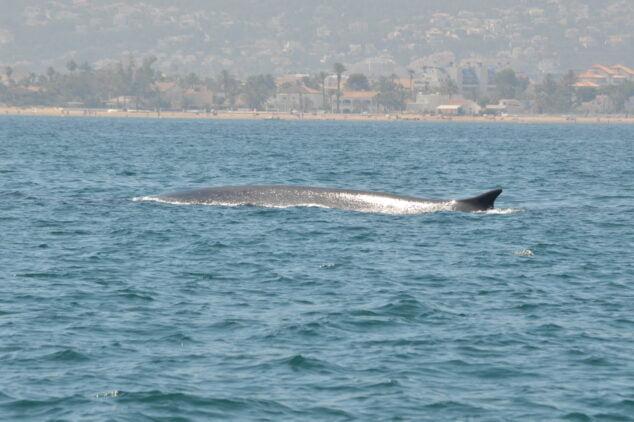 Imagen: Avistamiento de ballena en la costa de Dénia
