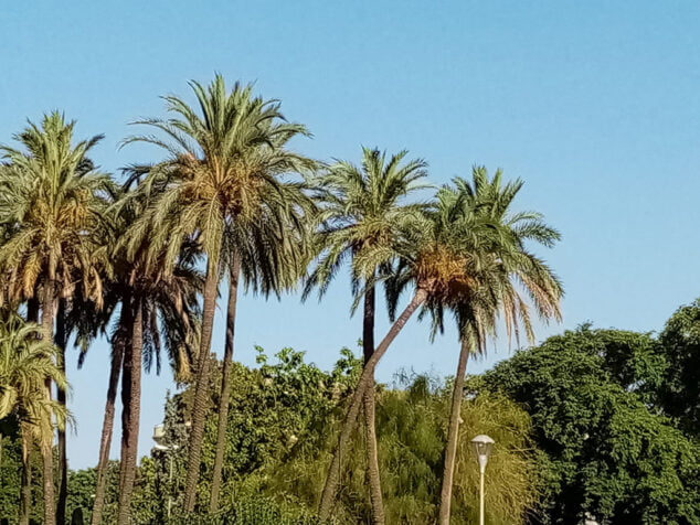 Imagen: Peligro caída de palmeras en Dénia